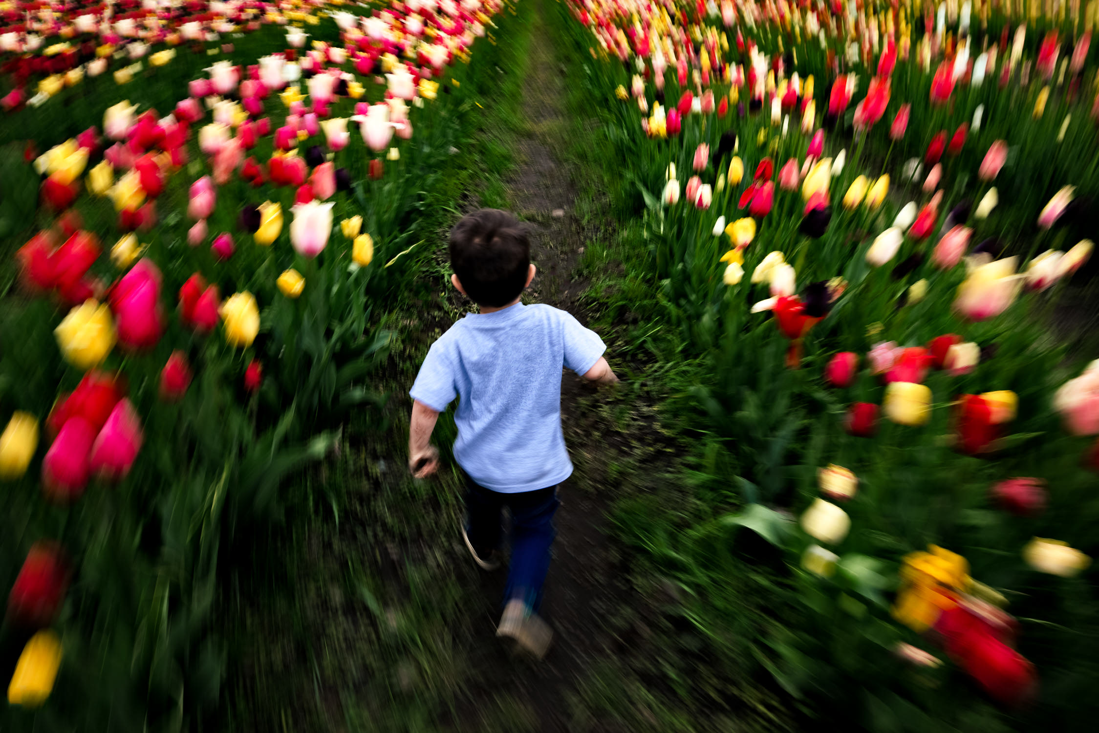 A motion blur photo of a boy running through a field of tulips from behind