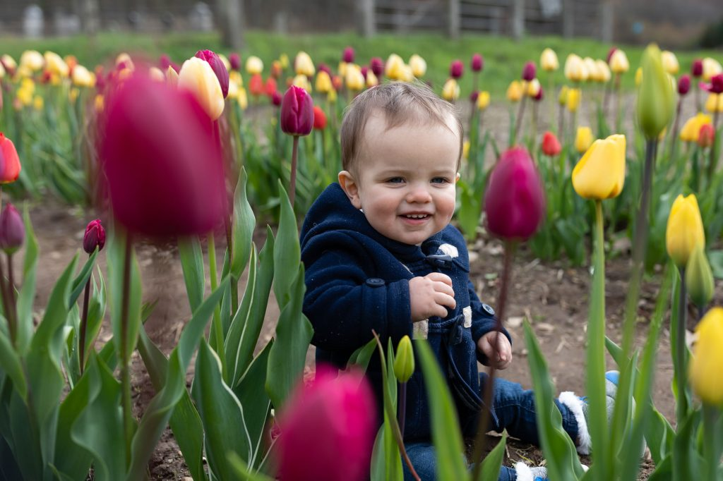 A one year old boy sits amidst a field of purple and yellow tulips during family photos at wicked tulip farm in RI