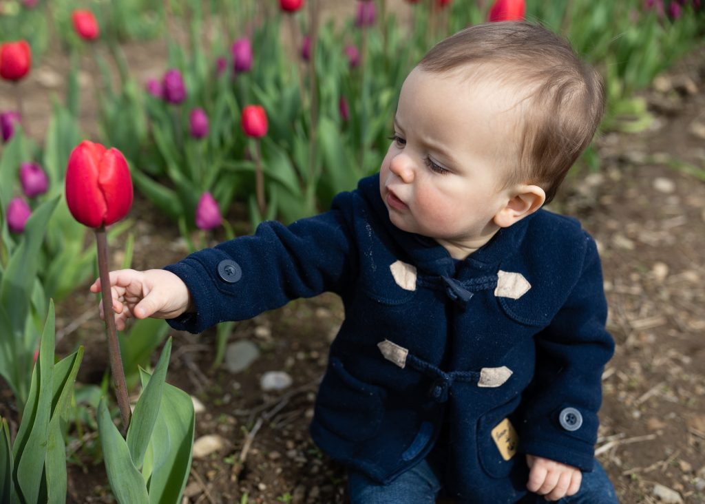 A little boy reaches out to pick a red tulip at wicked tulips farm in RI